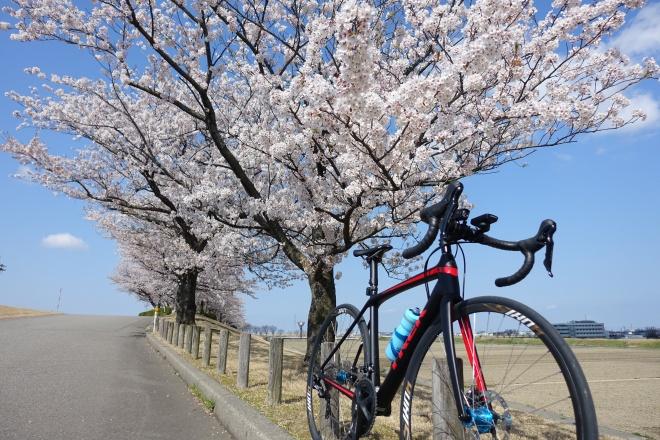 軽量ロードバイクEmonda SL 5 DISCで楽しむ加賀方面お花見ソロライド(エモンダ)
